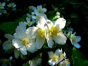 Lewis' Mock Orange