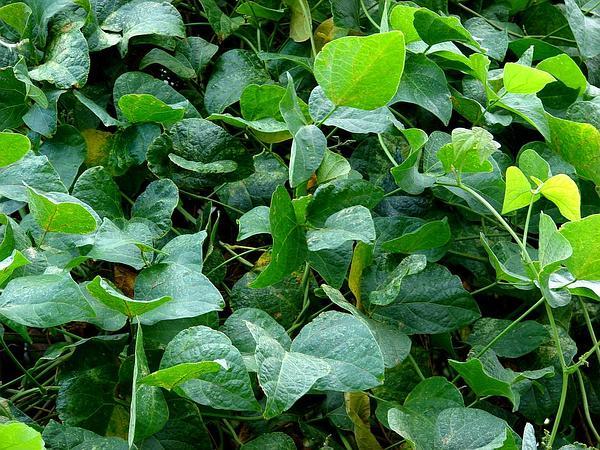 Sieva Bean (Phaseolus Lunatus) https://www.sagebud.com/sieva-bean-phaseolus-lunatus/