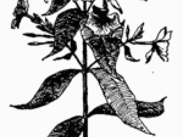 Wild Sweetwilliam (Phlox Maculata) https://www.sagebud.com/wild-sweetwilliam-phlox-maculata