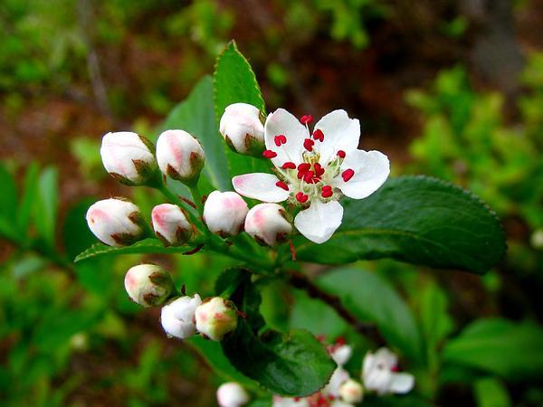 Black Chokeberry (Photinia Melanocarpa) https://www.sagebud.com/black-chokeberry-photinia-melanocarpa