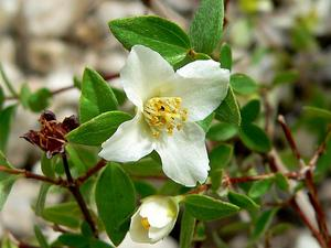 Littleleaf Mock Orange