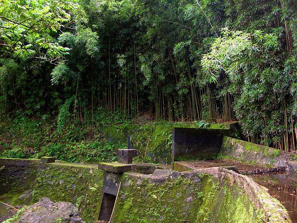 Black Bamboo (Phyllostachys Nigra) https://www.sagebud.com/black-bamboo-phyllostachys-nigra/