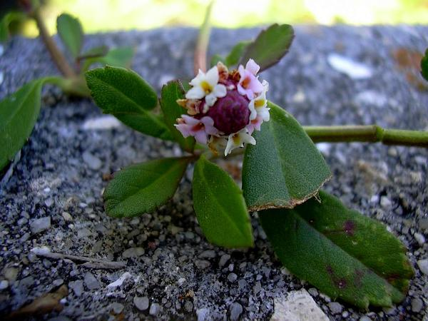 Turkey Tangle Fogfruit (Phyla Nodiflora) https://www.sagebud.com/turkey-tangle-fogfruit-phyla-nodiflora