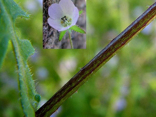 Fiestaflower (Pholistoma) https://www.sagebud.com/fiestaflower-pholistoma