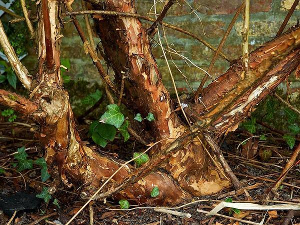 Common Ninebark (Physocarpus Opulifolius) https://www.sagebud.com/common-ninebark-physocarpus-opulifolius