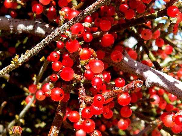 Mistletoe (Phoradendron) https://www.sagebud.com/mistletoe-phoradendron