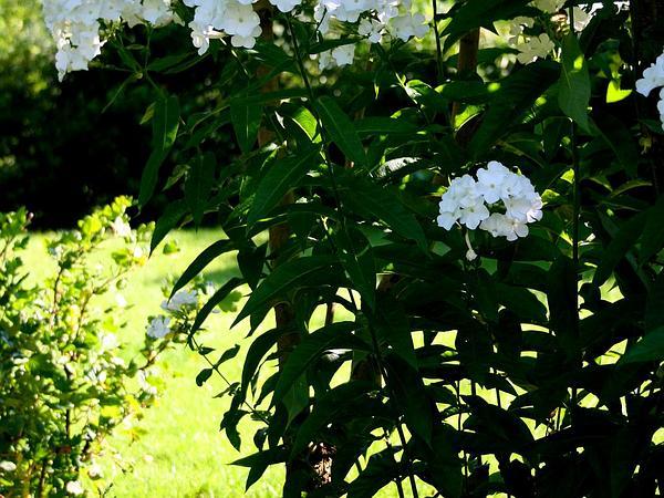 Fall Phlox (Phlox Paniculata) https://www.sagebud.com/fall-phlox-phlox-paniculata