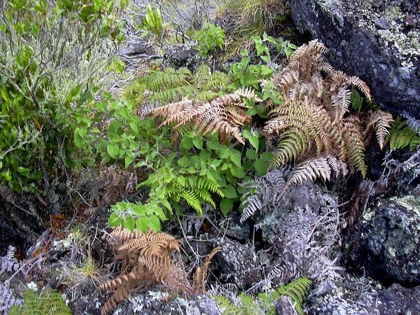 Peruvian Groundcherry (Physalis Peruviana) https://www.sagebud.com/peruvian-groundcherry-physalis-peruviana