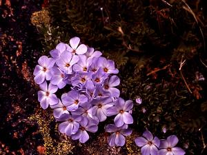 Cushion Phlox