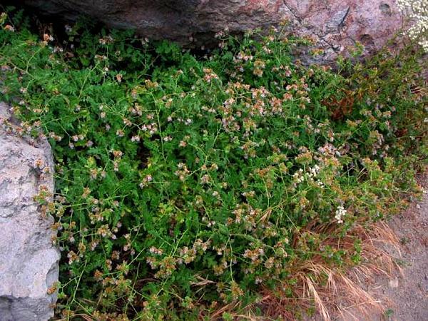 Branching Phacelia (Phacelia Ramosissima) https://www.sagebud.com/branching-phacelia-phacelia-ramosissima/