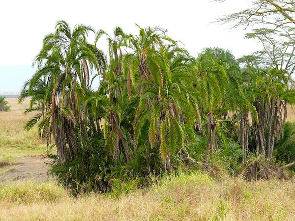 Senegal Date Palm (Phoenix Reclinata) https://www.sagebud.com/senegal-date-palm-phoenix-reclinata