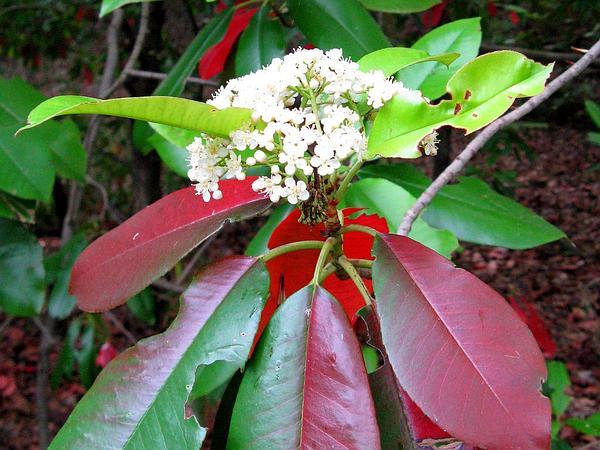 Taiwanese Photinia (Photinia Serratifolia) https://www.sagebud.com/taiwanese-photinia-photinia-serratifolia