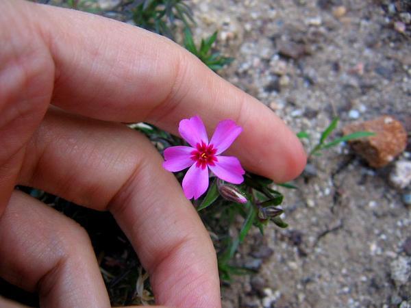 Moss Phlox (Phlox Subulata) https://www.sagebud.com/moss-phlox-phlox-subulata