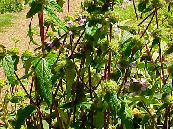 Tuberous Jerusalem Sage (Phlomis Tuberosa) https://www.sagebud.com/tuberous-jerusalem-sage-phlomis-tuberosa