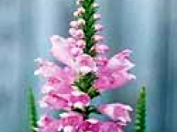 Obedient Plant (Physostegia Virginiana) https://www.sagebud.com/obedient-plant-physostegia-virginiana