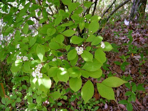 Oriental Photinia (Photinia Villosa) https://www.sagebud.com/oriental-photinia-photinia-villosa/