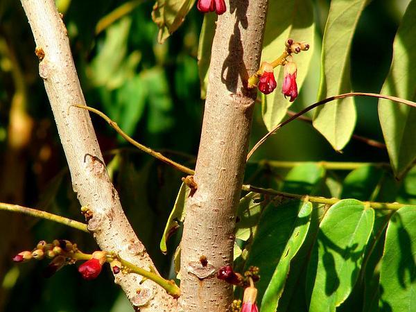 Leafflower (Phyllanthus) https://www.sagebud.com/leafflower-phyllanthus