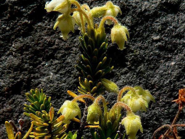 Mountainheath (Phyllodoce) https://www.sagebud.com/mountainheath-phyllodoce/