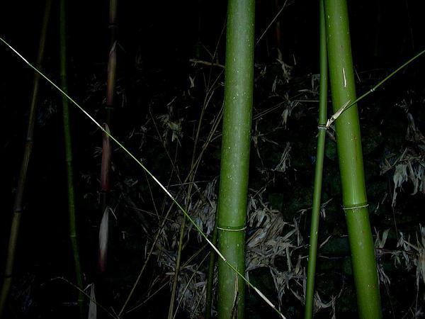 Bamboo (Phyllostachys) https://www.sagebud.com/bamboo-phyllostachys