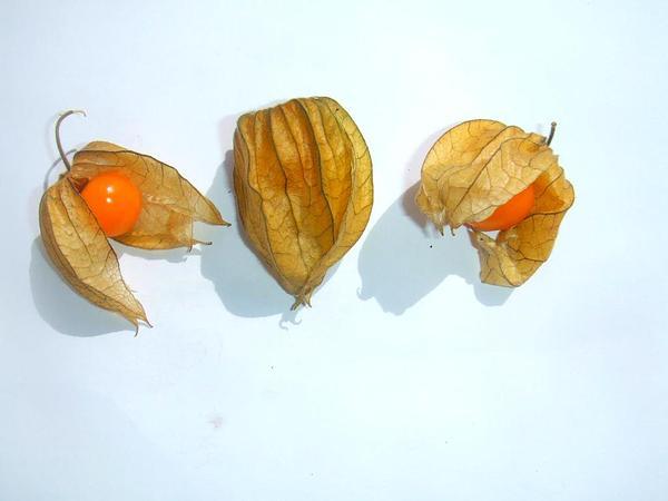 Groundcherry (Physalis) https://www.sagebud.com/groundcherry-physalis/