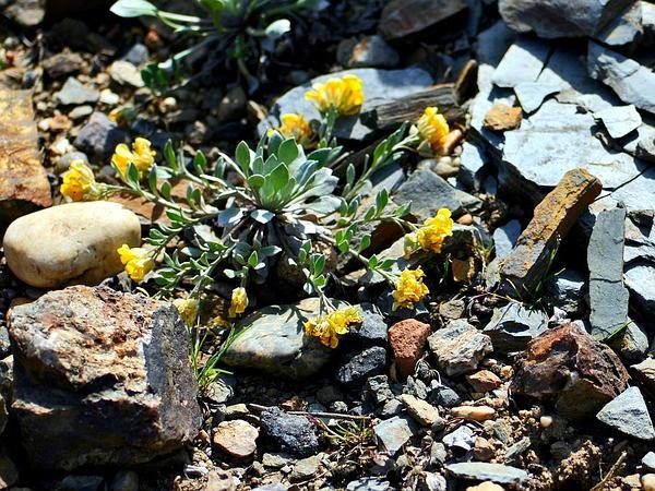 Twinpod (Physaria) https://www.sagebud.com/twinpod-physaria/