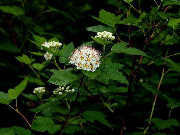 Ninebark (Physocarpus) https://www.sagebud.com/ninebark-physocarpus