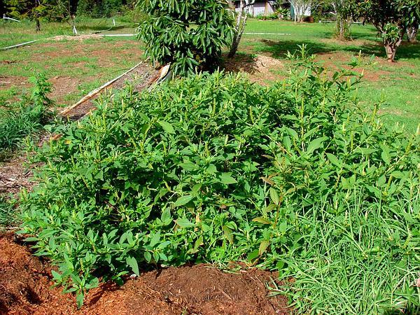 Pokeweed (Phytolacca) https://www.sagebud.com/pokeweed-phytolacca