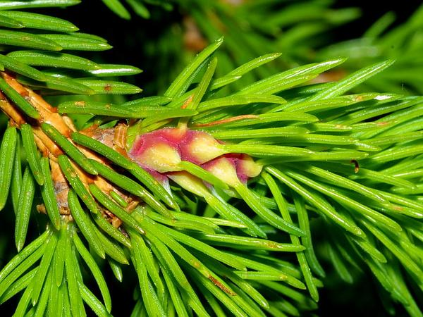 Norway Spruce (Picea Abies) https://www.sagebud.com/norway-spruce-picea-abies