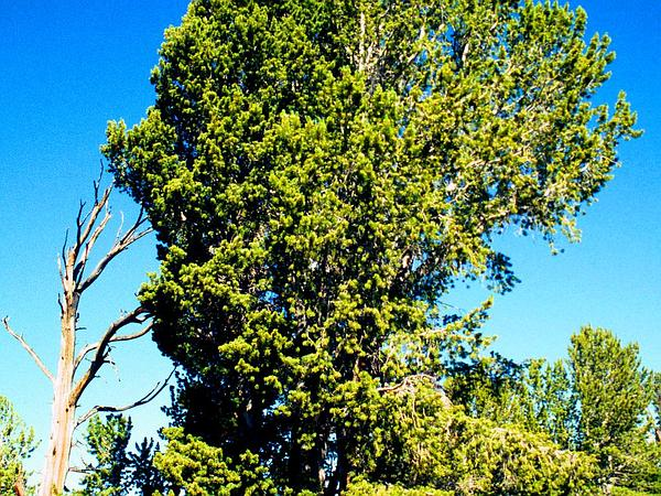 Whitebark Pine (Pinus Albicaulis) https://www.sagebud.com/whitebark-pine-pinus-albicaulis