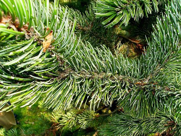 Bristlecone Pine (Pinus Aristata) https://www.sagebud.com/bristlecone-pine-pinus-aristata/