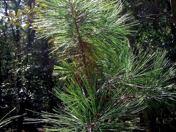 Arizona Pine (Pinus Arizonica) https://www.sagebud.com/arizona-pine-pinus-arizonica