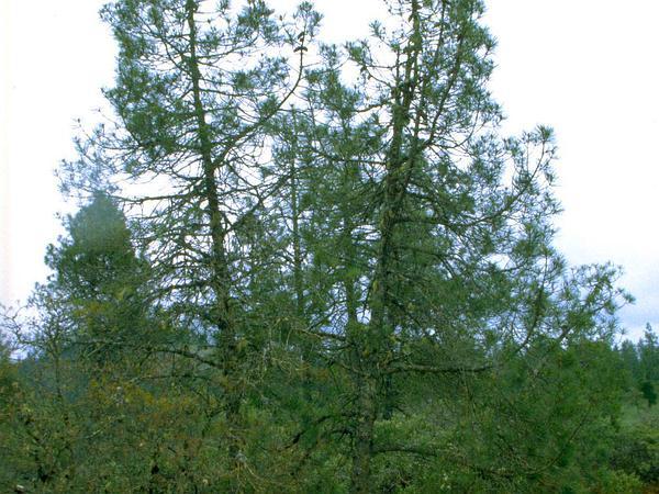 Knobcone Pine (Pinus Attenuata) https://www.sagebud.com/knobcone-pine-pinus-attenuata