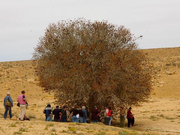 Mt. Atlas Mastic Tree (Pistacia Atlantica) https://www.sagebud.com/mt-atlas-mastic-tree-pistacia-atlantica