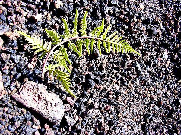 Leatherleaf Goldback Fern (Pityrogramma Austroamericana) https://www.sagebud.com/leatherleaf-goldback-fern-pityrogramma-austroamericana