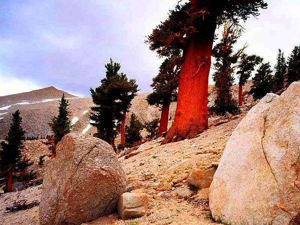 Foxtail Pine (Pinus Balfouriana) https://www.sagebud.com/foxtail-pine-pinus-balfouriana/