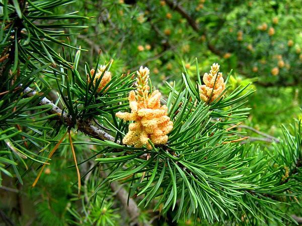 Jack Pine (Pinus Banksiana) https://www.sagebud.com/jack-pine-pinus-banksiana