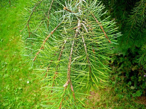 Brewer Spruce (Picea Breweriana) https://www.sagebud.com/brewer-spruce-picea-breweriana
