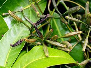 Australasian Catchbirdtree