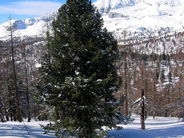 Swiss Stone Pine (Pinus Cembra) https://www.sagebud.com/swiss-stone-pine-pinus-cembra/