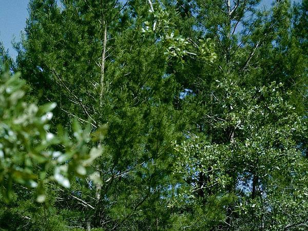 Sand Pine (Pinus Clausa) https://www.sagebud.com/sand-pine-pinus-clausa