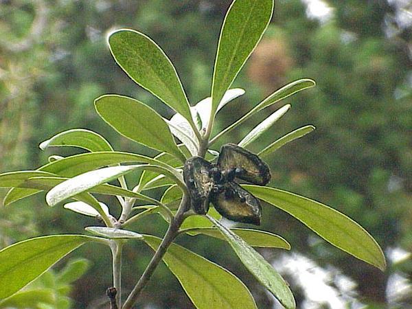 Stiffleaf Cheesewood (Pittosporum Crassifolium) https://www.sagebud.com/stiffleaf-cheesewood-pittosporum-crassifolium