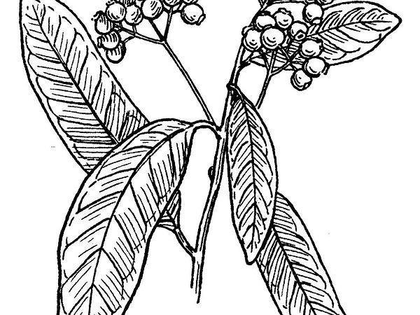 Allspice (Pimenta Dioica) https://www.sagebud.com/allspice-pimenta-dioica/