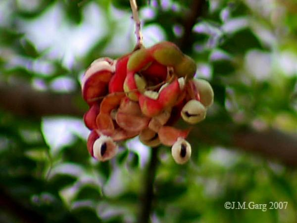 Monkeypod (Pithecellobium Dulce) https://www.sagebud.com/monkeypod-pithecellobium-dulce/