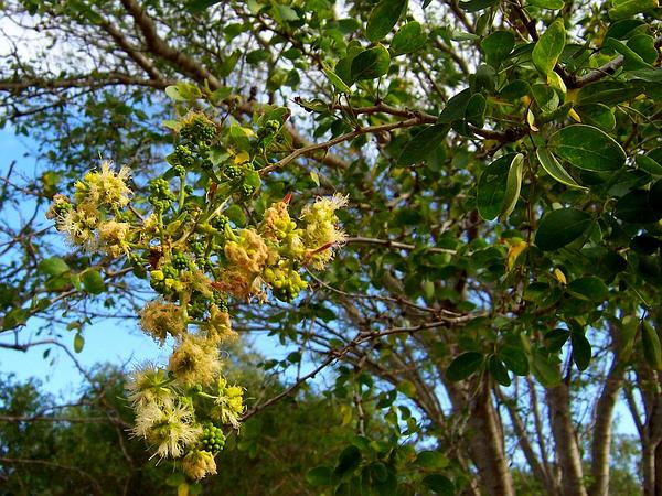 Monkeypod (Pithecellobium Dulce) https://www.sagebud.com/monkeypod-pithecellobium-dulce