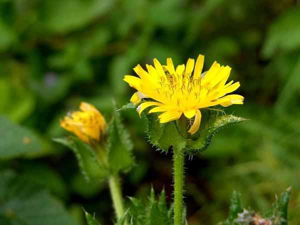 Bristly Oxtongue (Picris Echioides) https://www.sagebud.com/bristly-oxtongue-picris-echioides