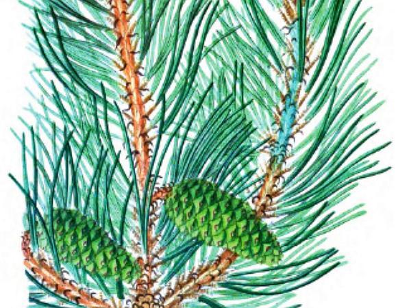 Shortleaf Pine (Pinus Echinata) https://www.sagebud.com/shortleaf-pine-pinus-echinata/