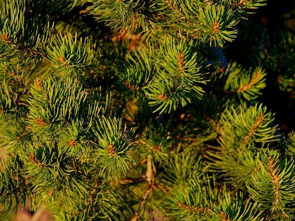 Twoneedle Pinyon (Pinus Edulis) https://www.sagebud.com/twoneedle-pinyon-pinus-edulis/