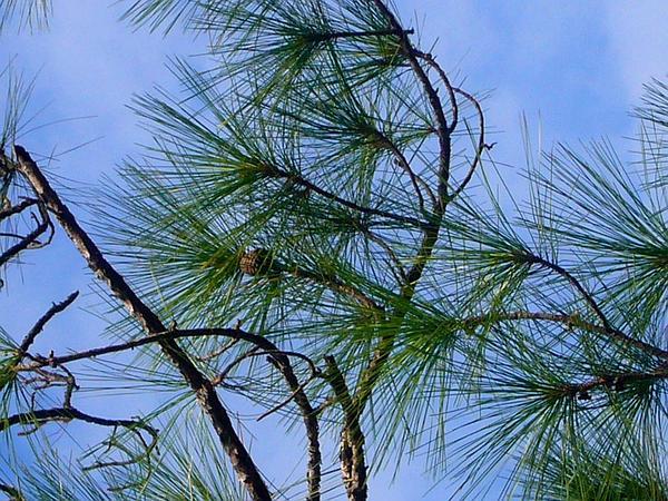 Slash Pine (Pinus Elliottii) https://www.sagebud.com/slash-pine-pinus-elliottii