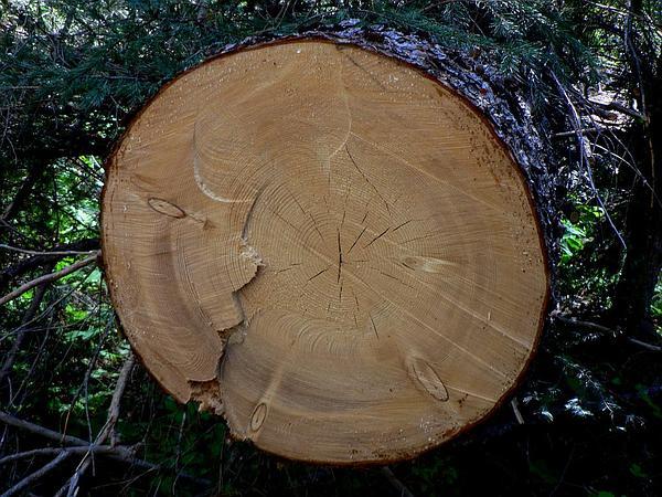Engelmann Spruce (Picea Engelmannii) https://www.sagebud.com/engelmann-spruce-picea-engelmannii