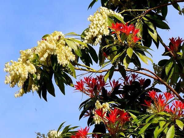 Fetterbush (Pieris) https://www.sagebud.com/fetterbush-pieris